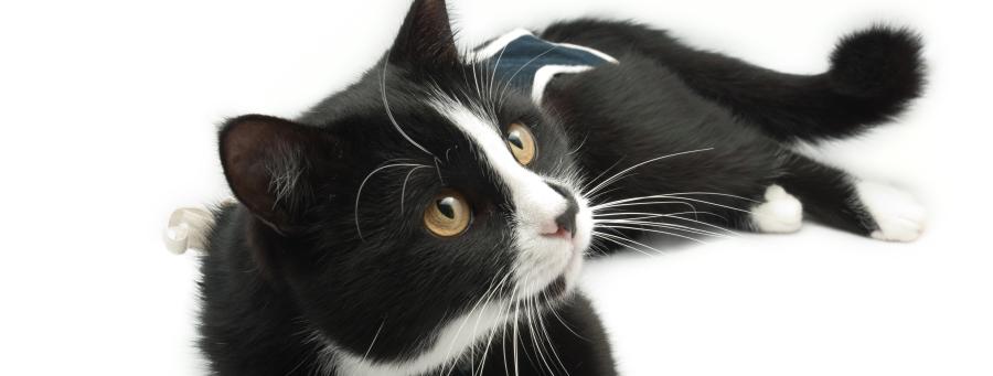 Sterilisatie katten en poezen. Castratie katers, wat zijn de voordelen ?